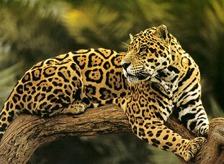 Jaguar into the Pantanal